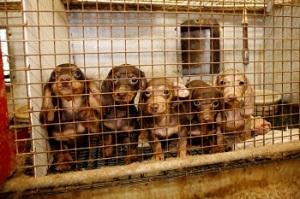 ca-puppymill1-092611